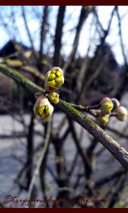 This photo is a week old so these buds have now pushed through and would start truly blooming soon...