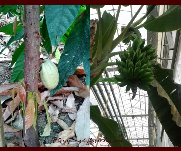 Right: Cocoa Bean Pod! Left: Bananas!
