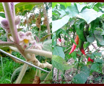 Right: a cute 'furry' plant which i could not identify, Left: Regular Chili Plant.