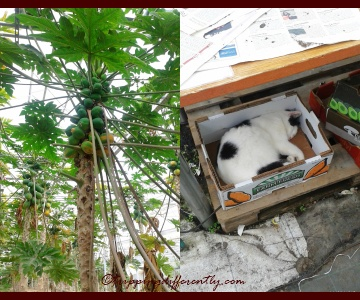Right: Papayas!, Left: We found a lovely cat sleeping under a table in the production house, oblivious to all the visitors walking by.