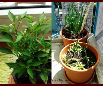 Right: Our Mini-Chili Plant with its lovely white flowers, Left: Spring Onions and Weeds.
