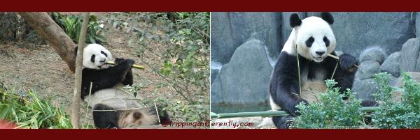 The Giant Pandas; KaiKai and JiaJia. Can you guess which one is KaiKai (male)?