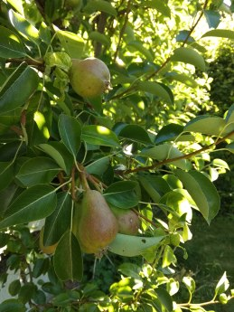 Pears are coming along nicely.
