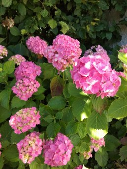 The Hydrangeas are looking pretty.