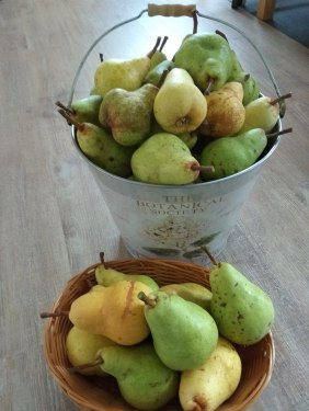 i estimate about 50 or more pears!