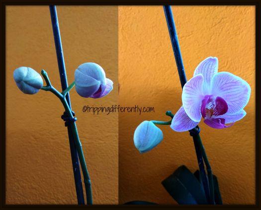 orchidbloom20180130